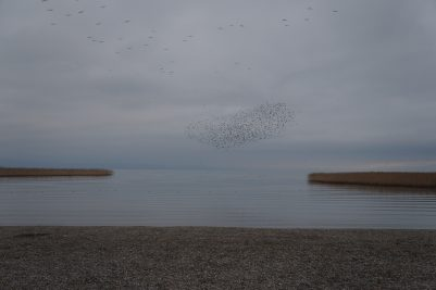 Flocking starlings, Lake Ohrid