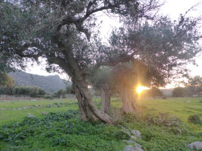 Sunrise in the ancient olive grove